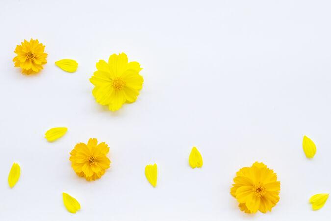 白色背景上的浅黄色花朵